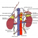 Diagram illustrating anatomy of adrenal glands