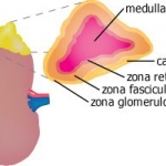 Diagram illustrating zones of adrenal cortex
