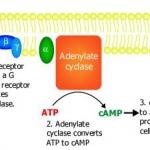 cAMP linked receptors