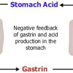 The release of gastrin from the G cells