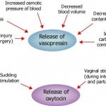 Specific stimuli for oxytocin and vasopressin